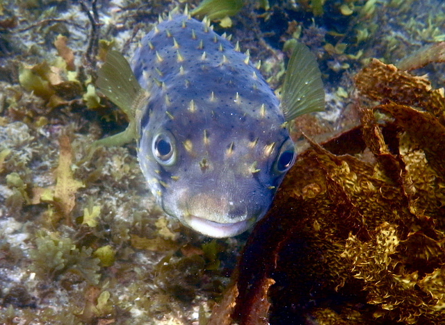Porcupine fish in Green Patch, Jervis Bay, NSW