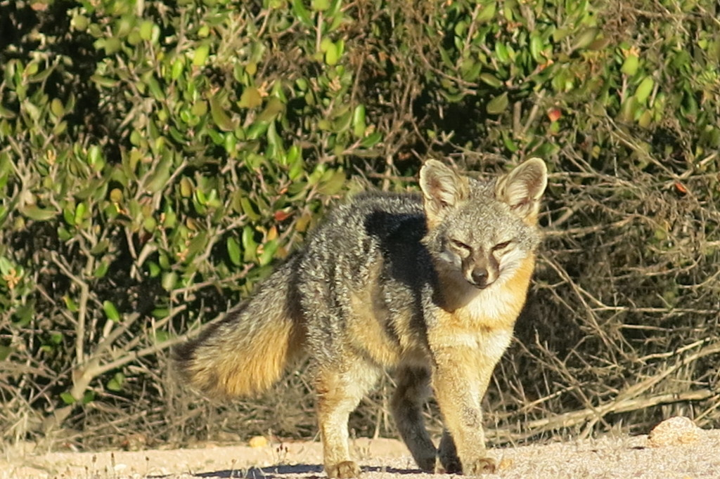 A Wild Fox on Catalina Island