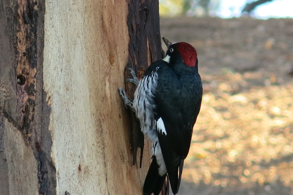 A Woodpecker on the Trans-Catalina Trail
