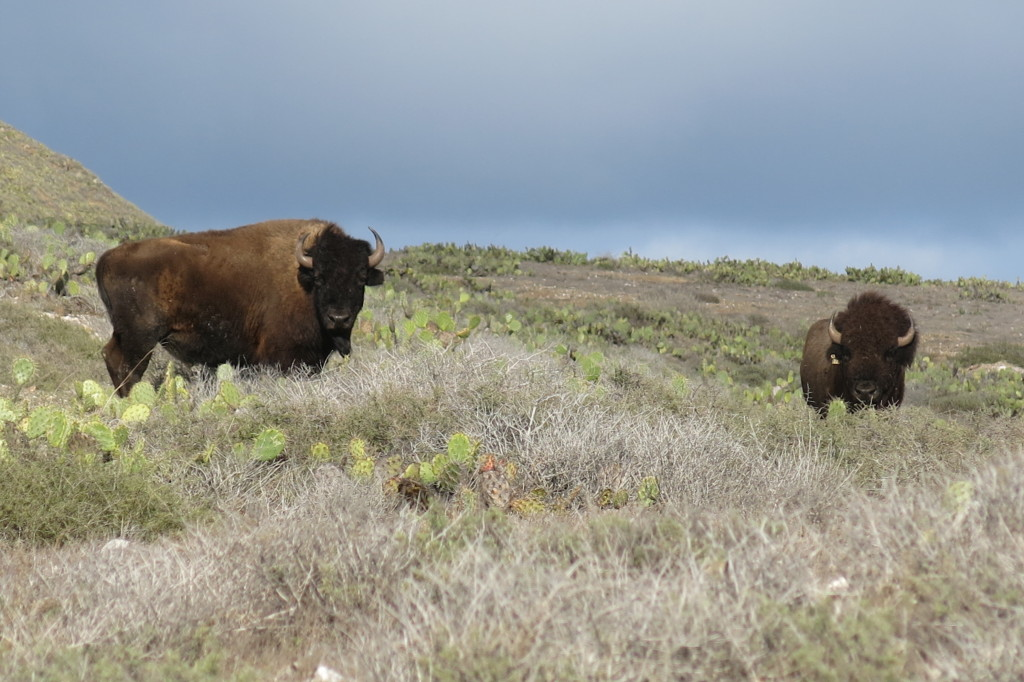 Wild Bison on the Trans-Catalina Trail