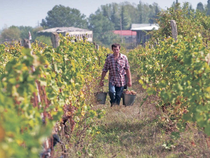 A wine-maker collecting grapes in the Kakheti province of Georgia